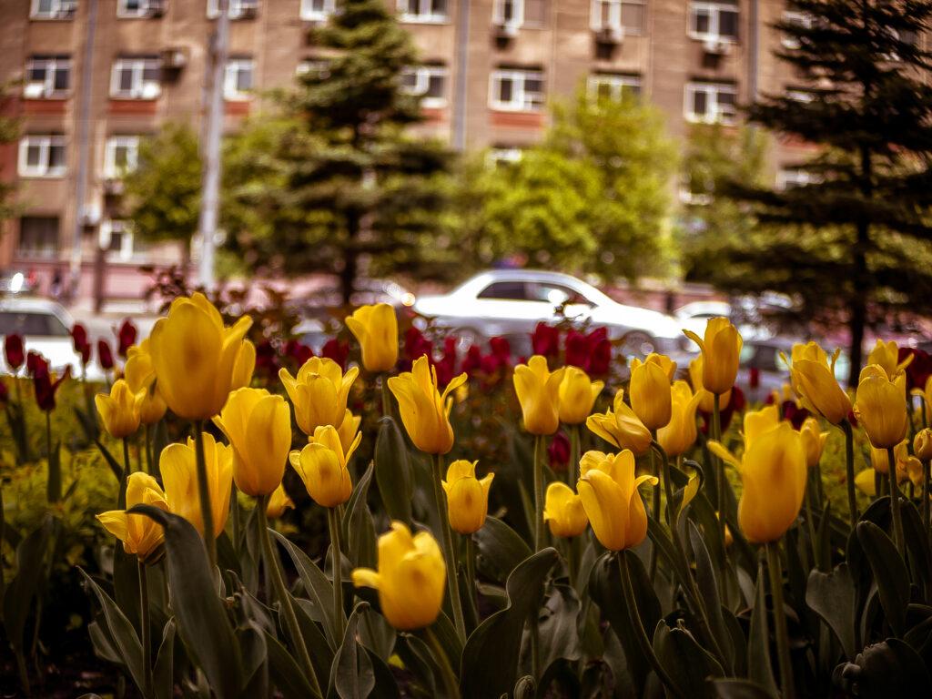 Тюльпаны. Фото Елены Берсенёвой