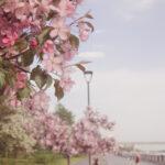 Яблони цветут. Фото Елены Берсеневой